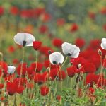 Field with white and red poppies growing together