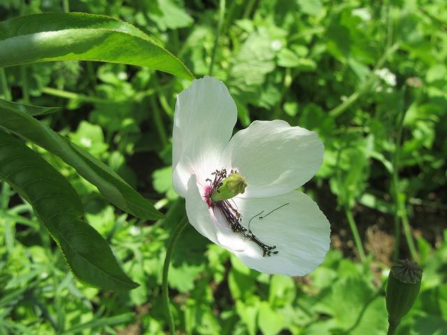 white-poppy-1406076_640