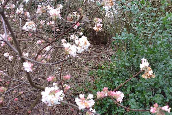 Pink blossom (sorry, don't know its name) photographed on 7 January 2019 in the Reading University Harris garden