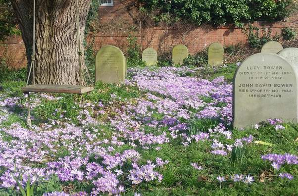 Carpet of purple crocuses among the gravestones in Reading burial ground, with a swing hanging from the oak tree over them